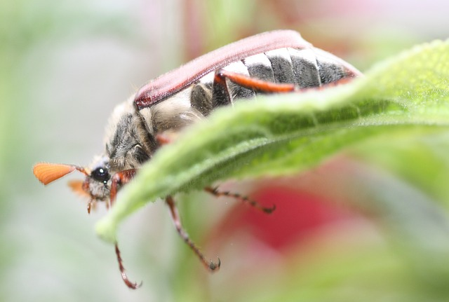 Mai, Maikäfer, Insekt, Tiere, Natur, Käfer