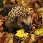 Igel, Herbst, Garten, Farben Des Herbstes, Natur, Blatt