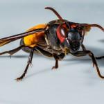 Hornisse, Wespe, Insekt