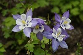 Akelei, Blume, Blüte, Zweifarbig, Blühen