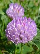 Klee, Blume, Lila, Frühling, Mai