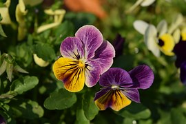 Lila Blüten, Anthurium Blumen