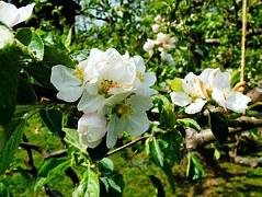 Apfelblüten, Apfelblütenzweig, Knospen