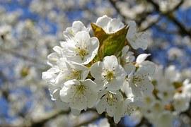 Kirschblüte, Kirschbaum, Weiß, Blüten