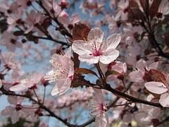 Mirabelle, Blüten