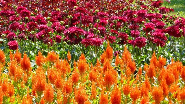 Paprikavirág, Dahlie, Zierpflanzen, Blumengarten